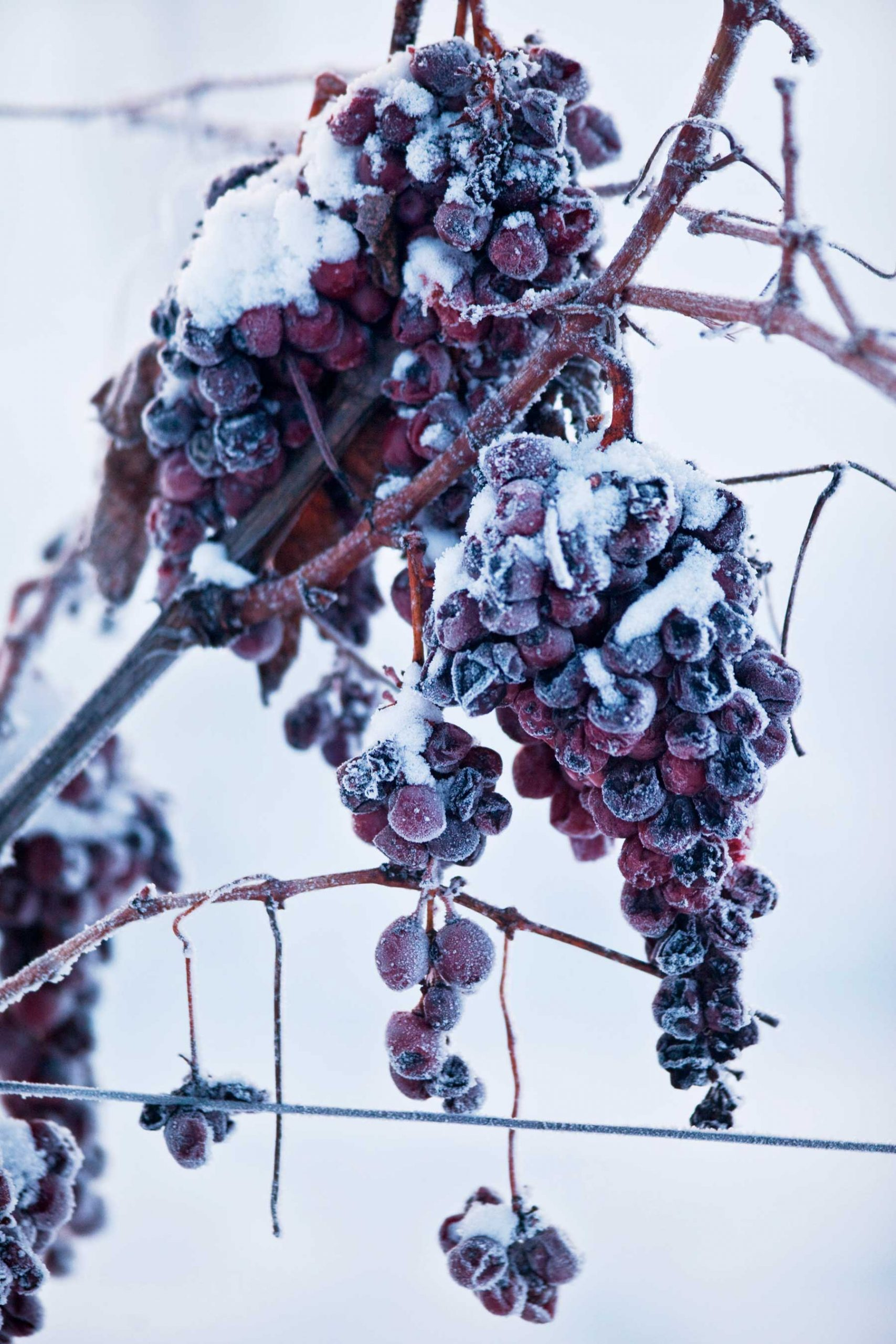 Red grapes frozen on the vine in fluffy, white snow.
