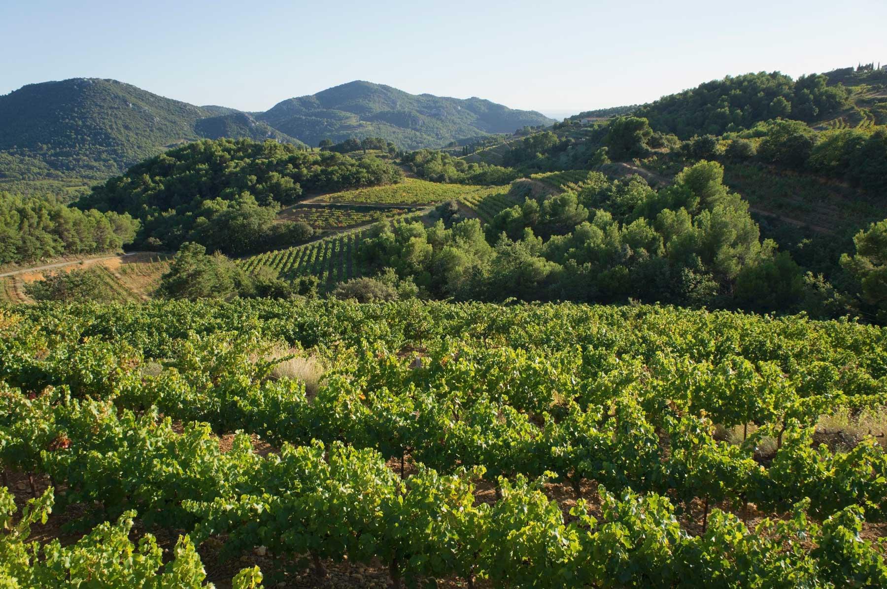 A beautiful, green landscape of lush wine vineyards.
