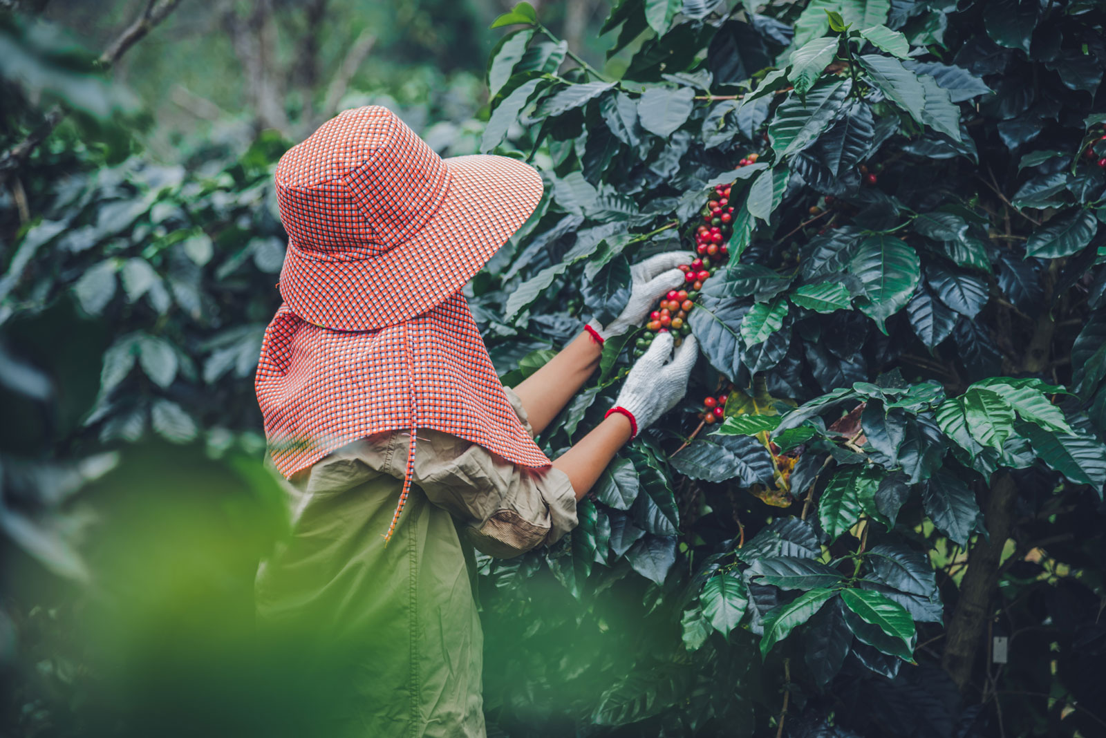A person gently examining and picking coffee beans from their tree.