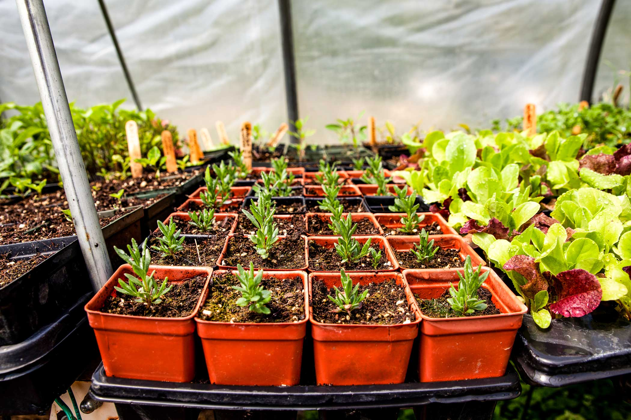 A set of individually potted budding rosemary plants in a nursery.