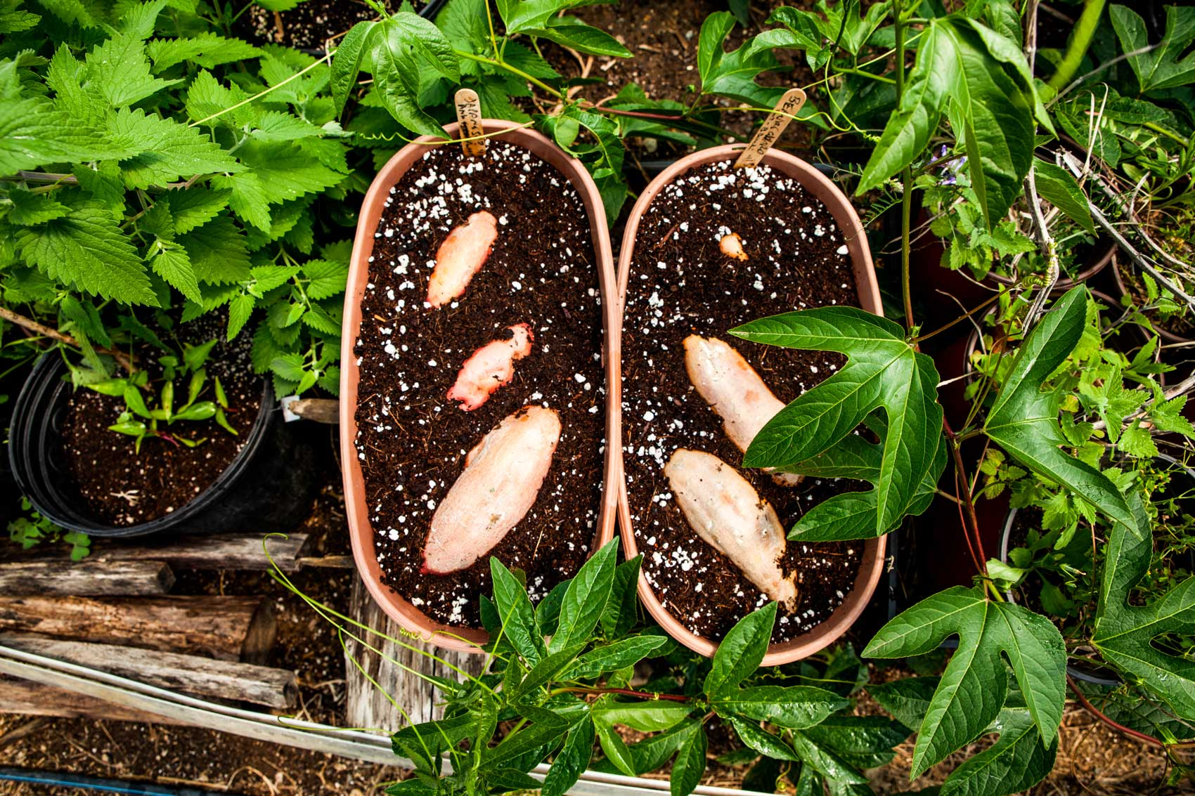 Sweet potatoes growing out of potted soil.