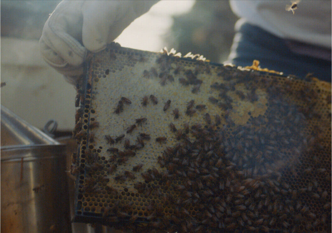 A person gently moving the frame of a running hive of bees.