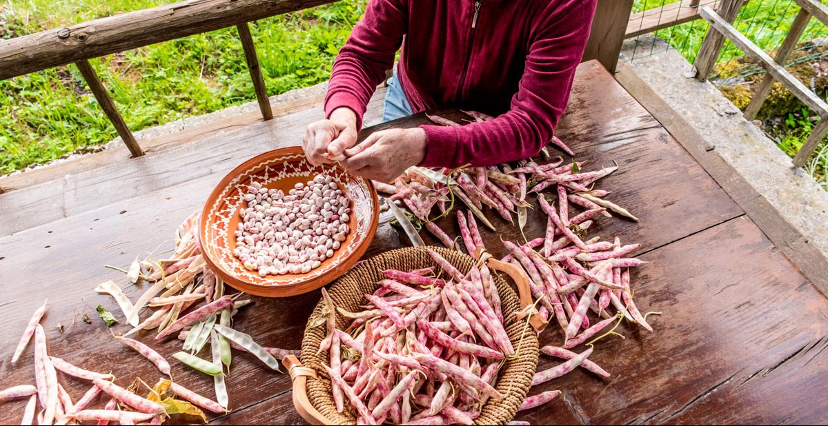 A person picking cranberry beans into a large bowl.