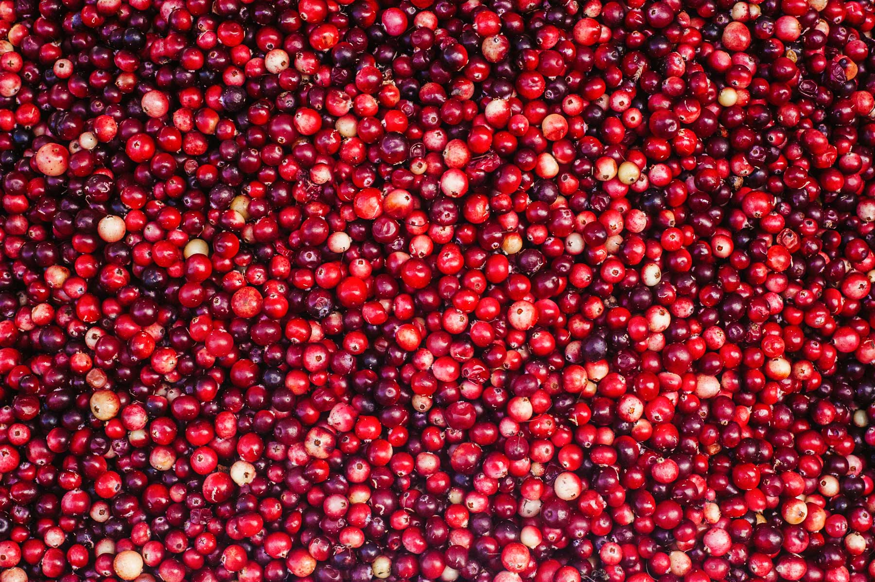 A sea of bright, red cranberries.