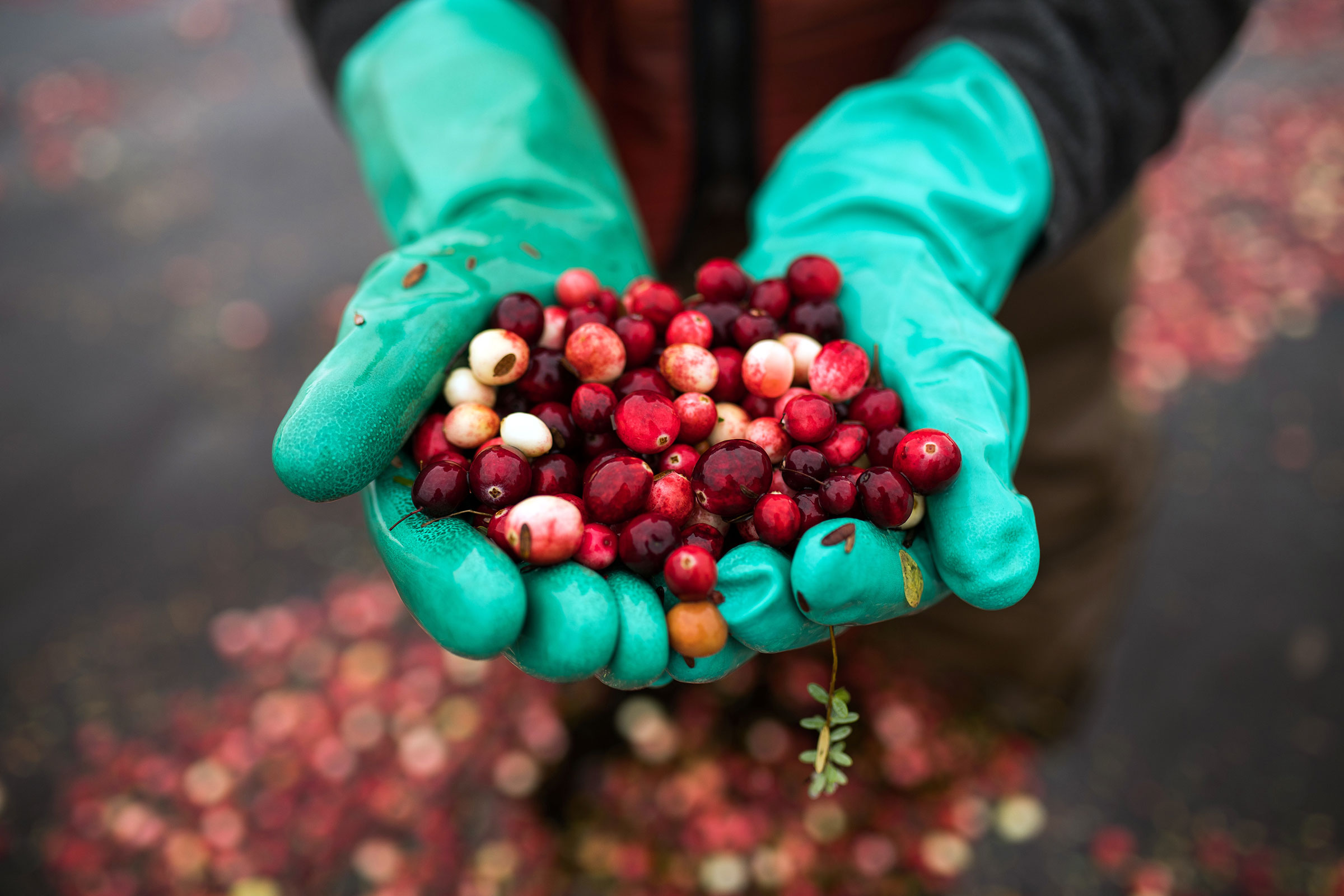 Gloved hands holding a handful of freshly picked cranberries.