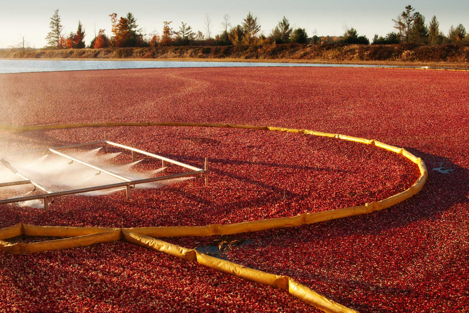 Cranberries floating in a bog as they are being harvested.