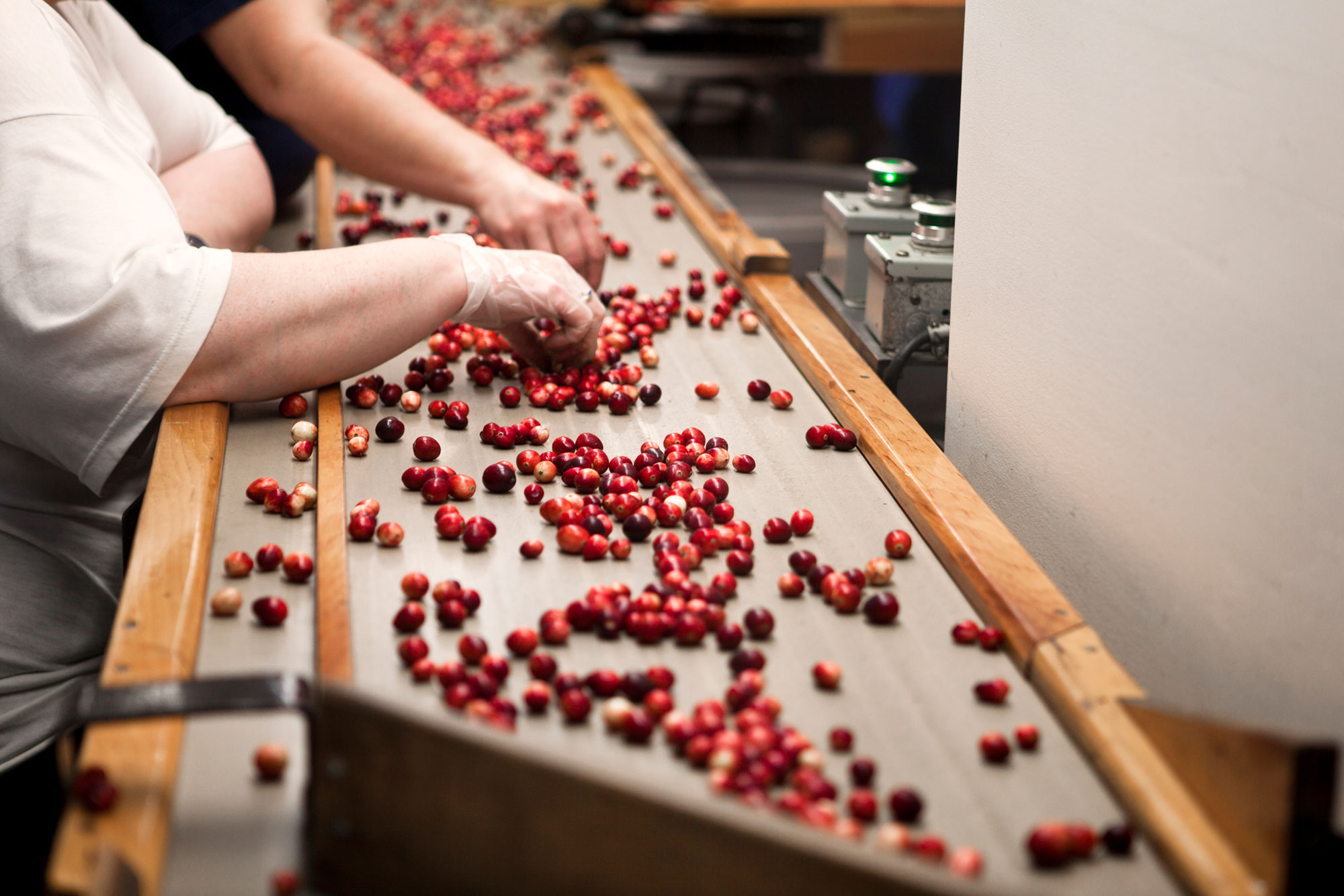 People sorting through individual cranberries.