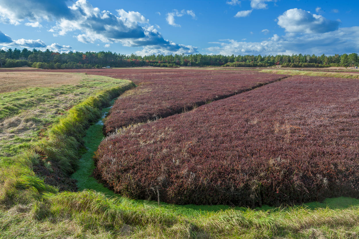 A lush landscape filled with cranberry shrubs.