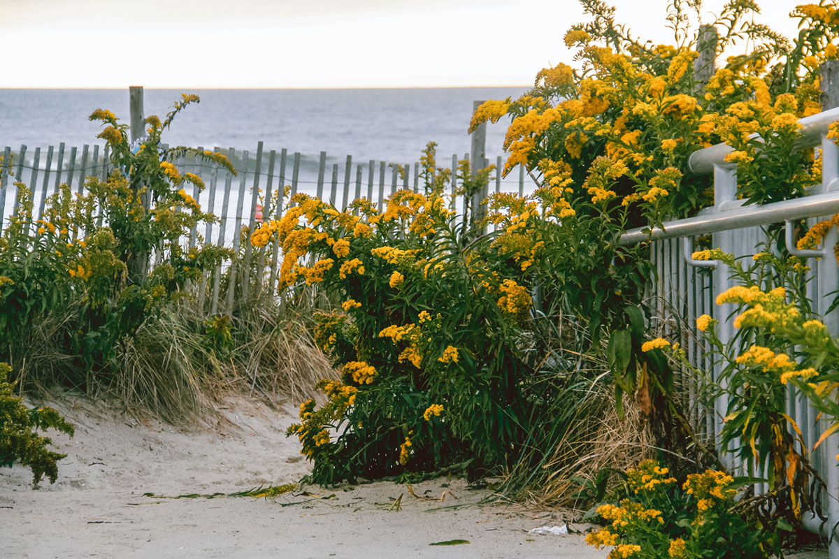 Yellow flowers growing along a beach fence.