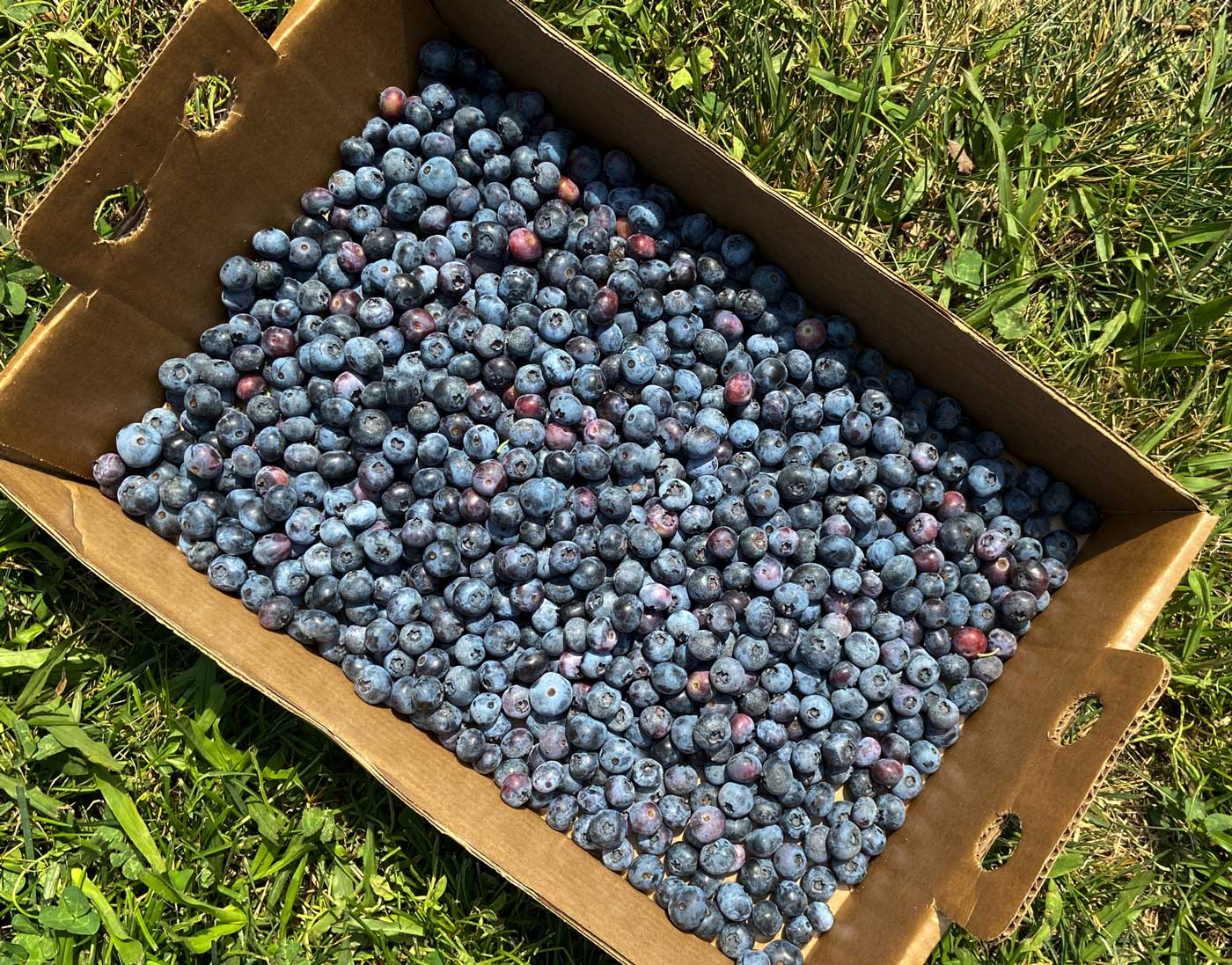 A cardboard box filled with freshly picked blueberries.