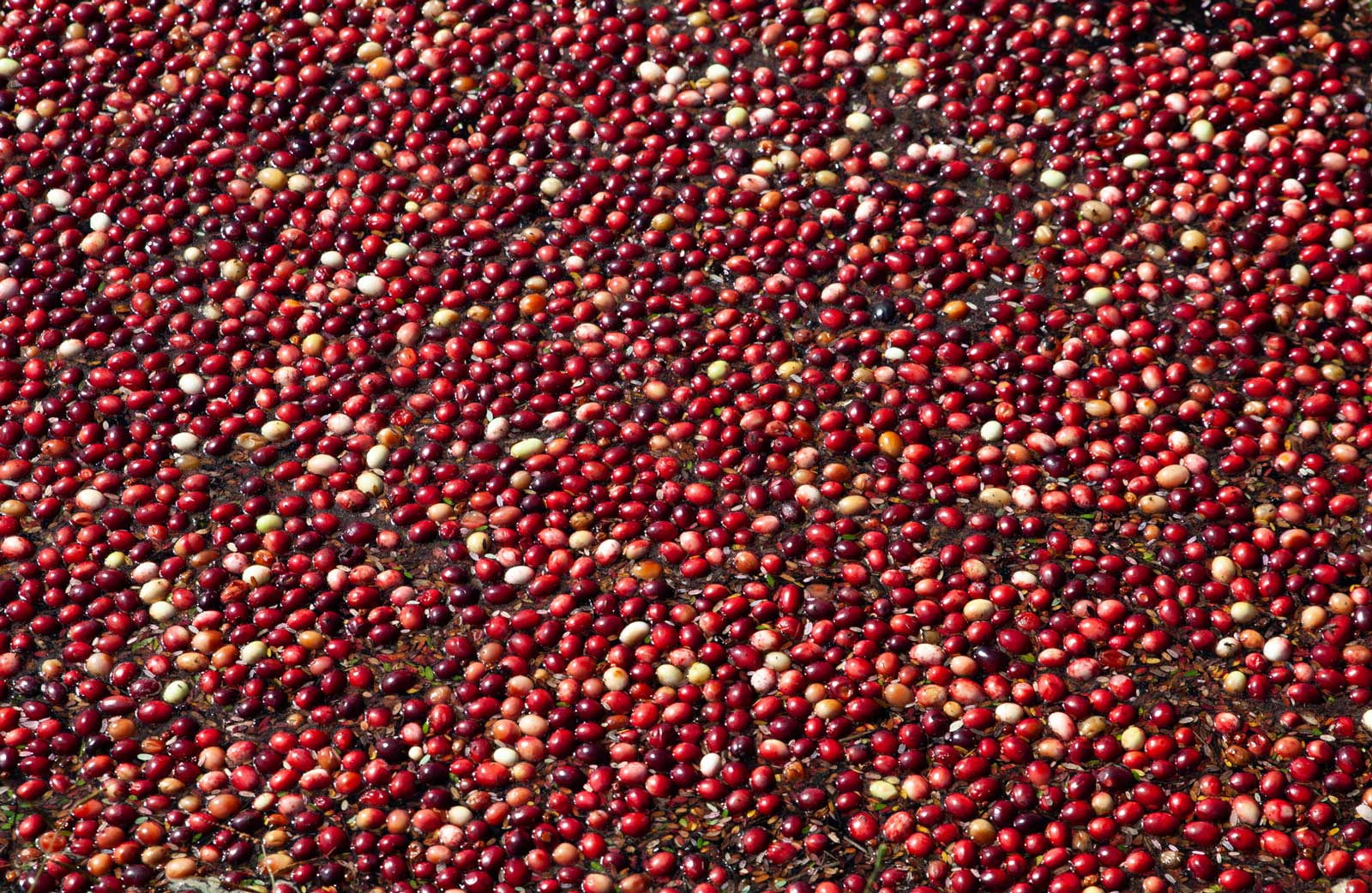 A sea of cranberries floating in the water.