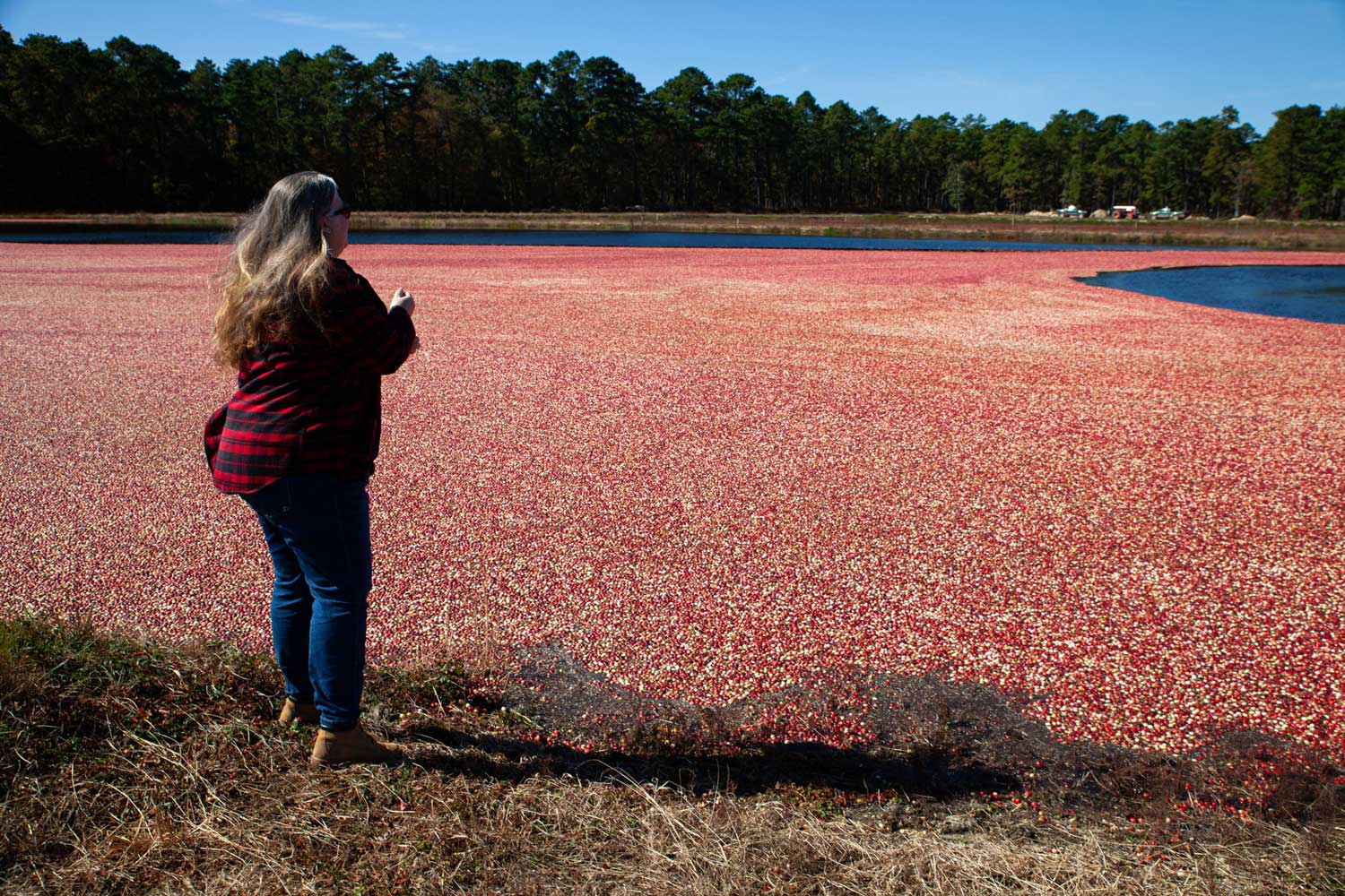 A woman staring at the bog of cranberries.