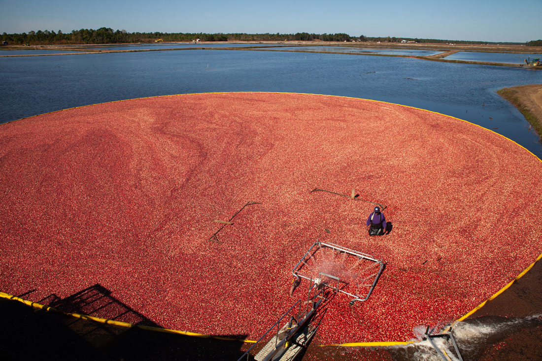 A person in the middle of a bog of cranberries.