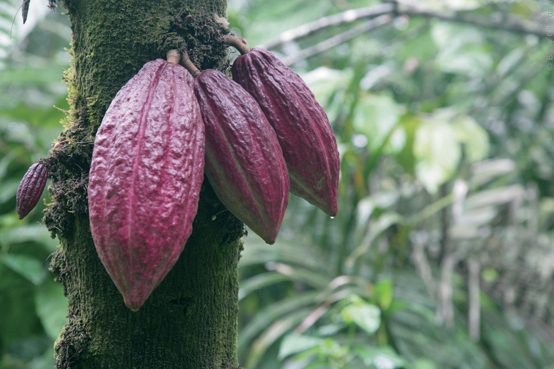 Naturally growing ruby cocoa beans.