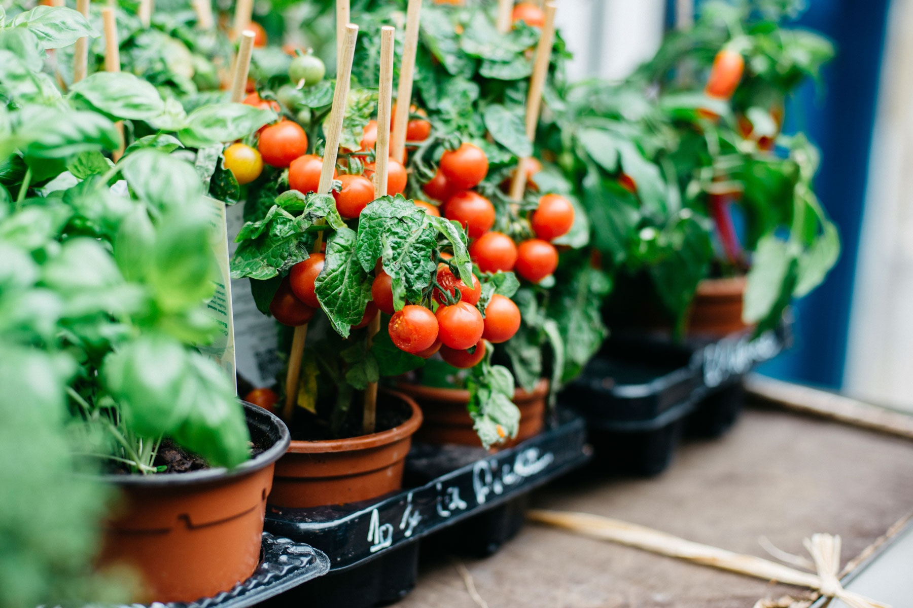 Cherry tomatoes growing in individual pots.