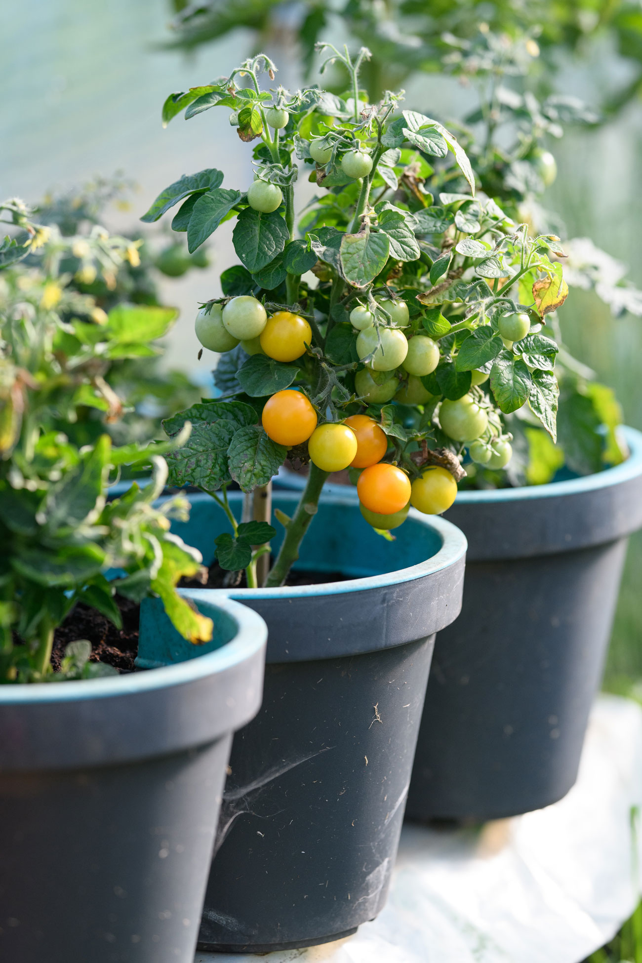 Cherry tomatoes growing outside in large pots.