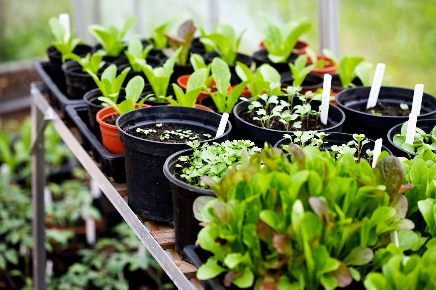 Herbs growing in small pots.