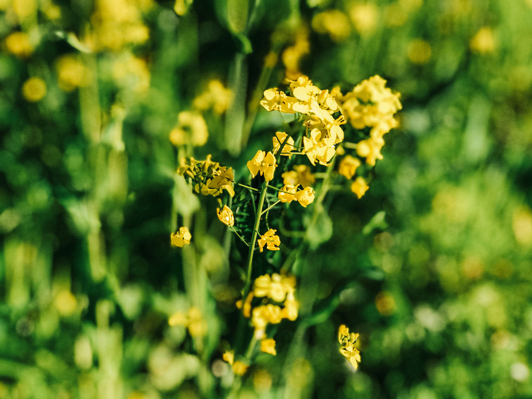 Yellow flowers growing freely in nature.