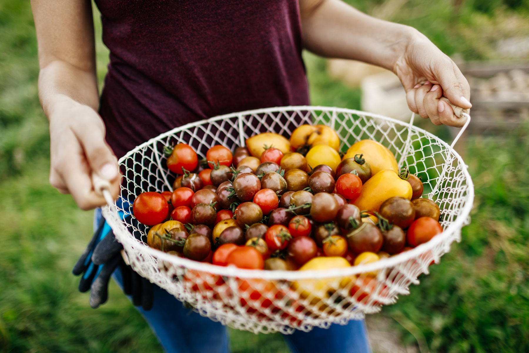 A large wire basket filled with heirloom tomatoes