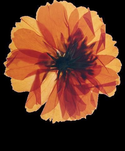 A large orange dried flower.