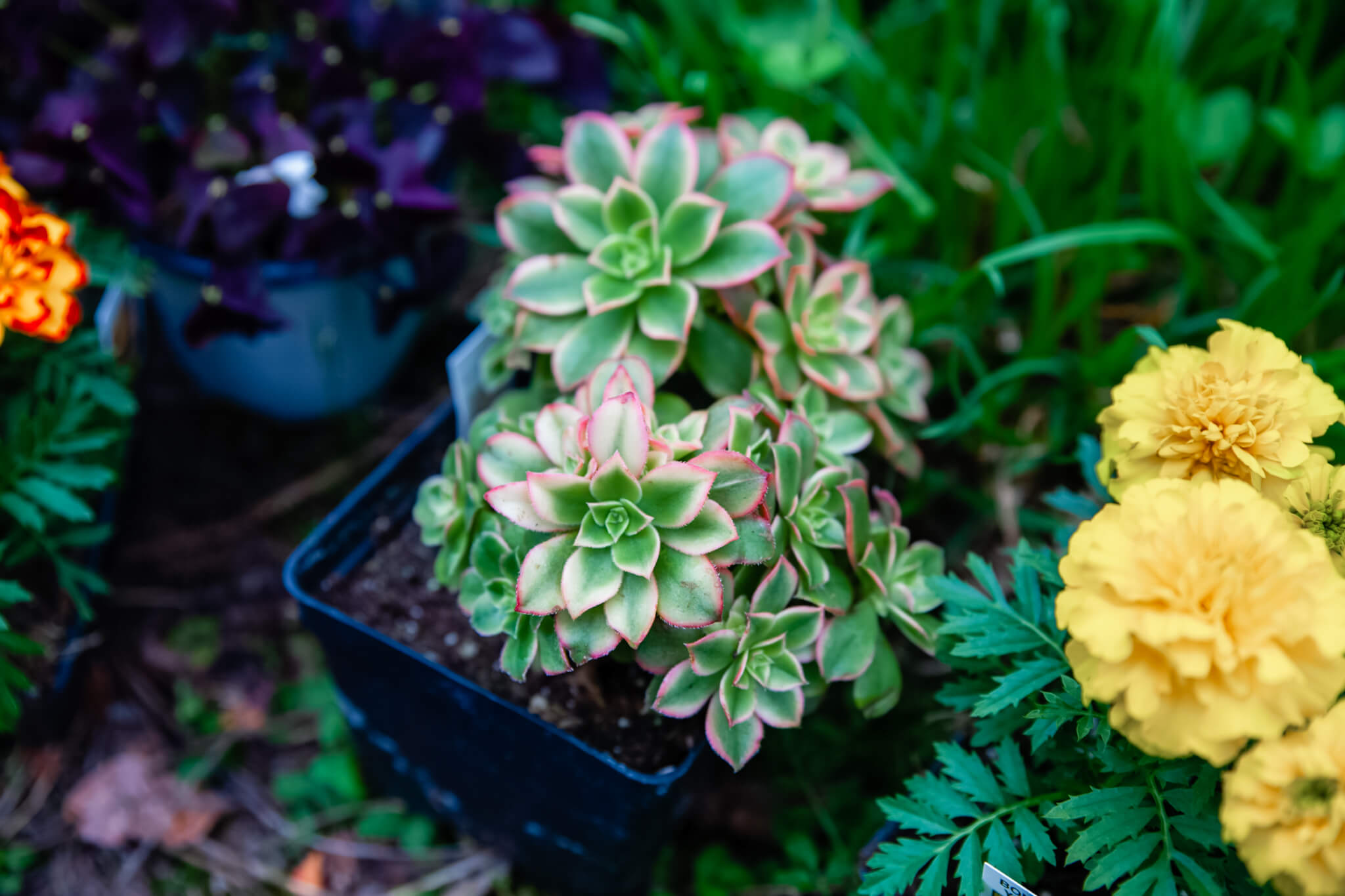 A vibrant, pink-trimmed succulent.