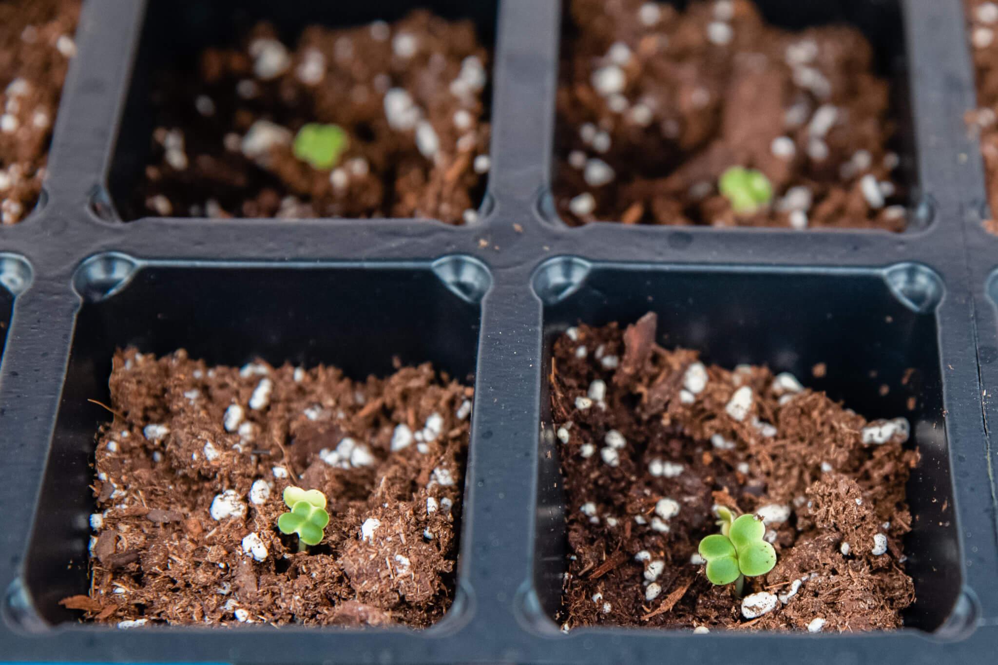 Small nursery growing.