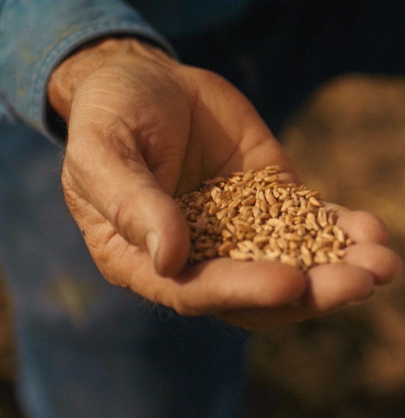 A handful of wheat grain.