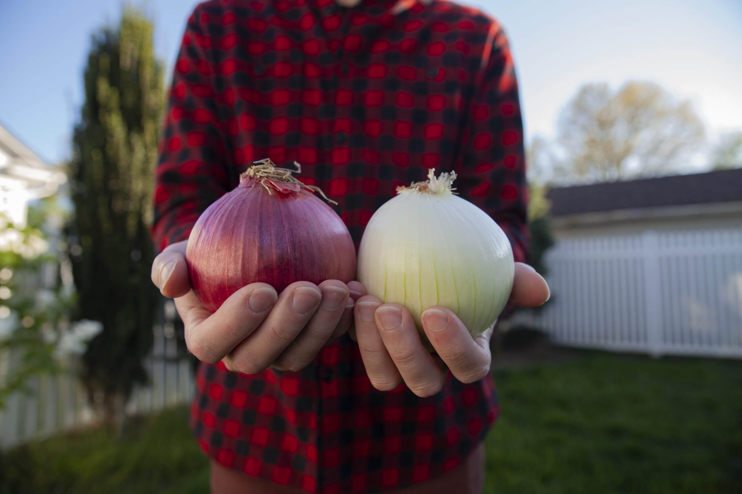 A person holding a red onion in one hand and a white onion in the other.