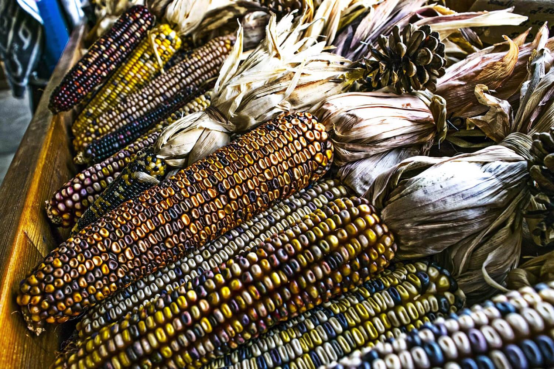 Freshly husked blue corn in a basket.